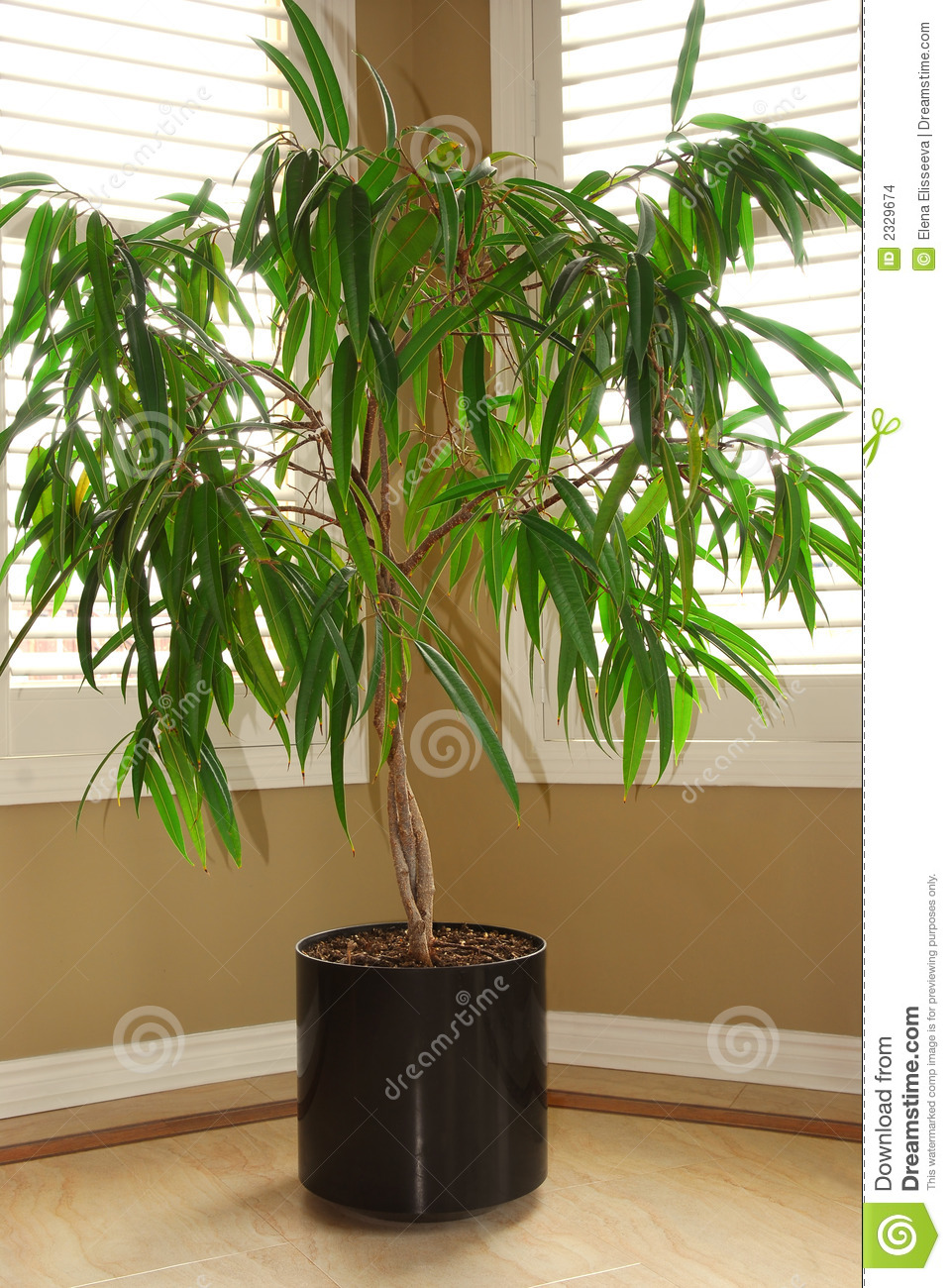 House Plant Stock Photo Image Of Leaves Ficus Estate 2329674