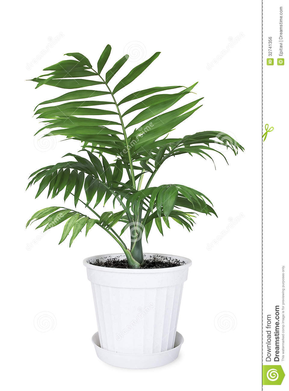 House plant chamaedorea in a flower pot royalty free stock image image 32741356 - White flowering house plants ...