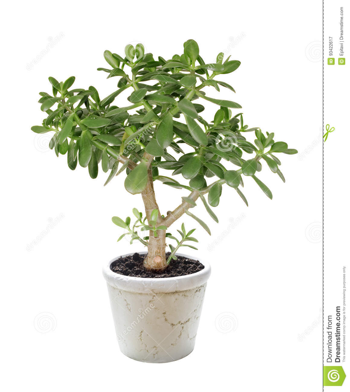 House plant Crassula on a white