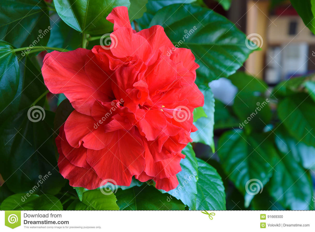 House Plant Hibiscus - Chinese Rose. Stock Photo - Image of ... on windmill palm house plant, periwinkle house plant, lantana house plant, baobab house plant, cereus house plant, pineapple house plant, papaya house plant, kentia palm house plant, acacia house plant, spanish moss house plant, mandevilla house plant, orange house plant, taro house plant, cinnamon house plant, bottle palm house plant, cabbage house plant, vanilla house plant, sorrel house plant, blue ginger house plant, colocasia house plant,