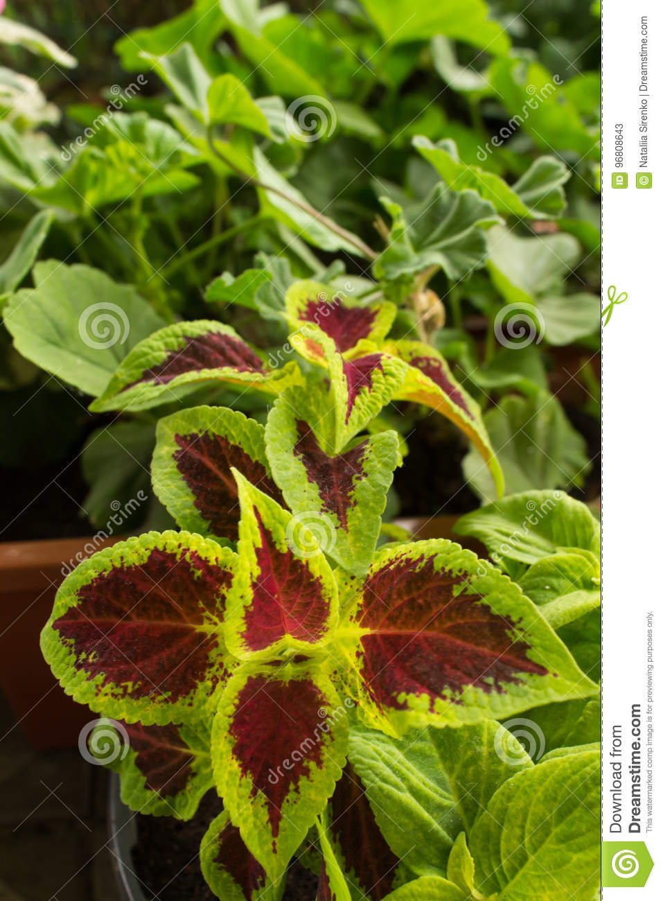 House Plant Hypoestheses With Red Green Leaves Stock Image Image