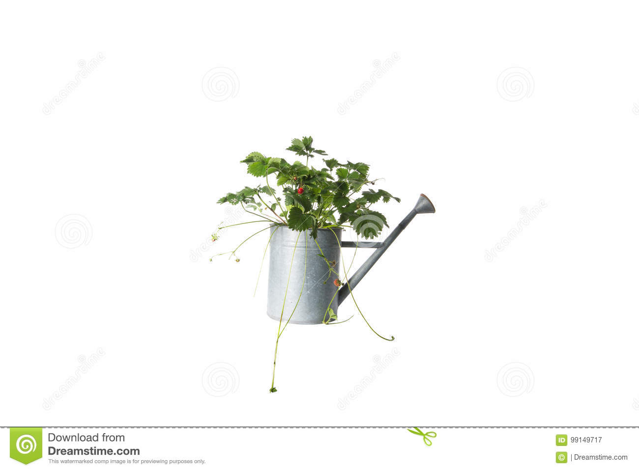 House Plant in watering can, plant isolated on white
