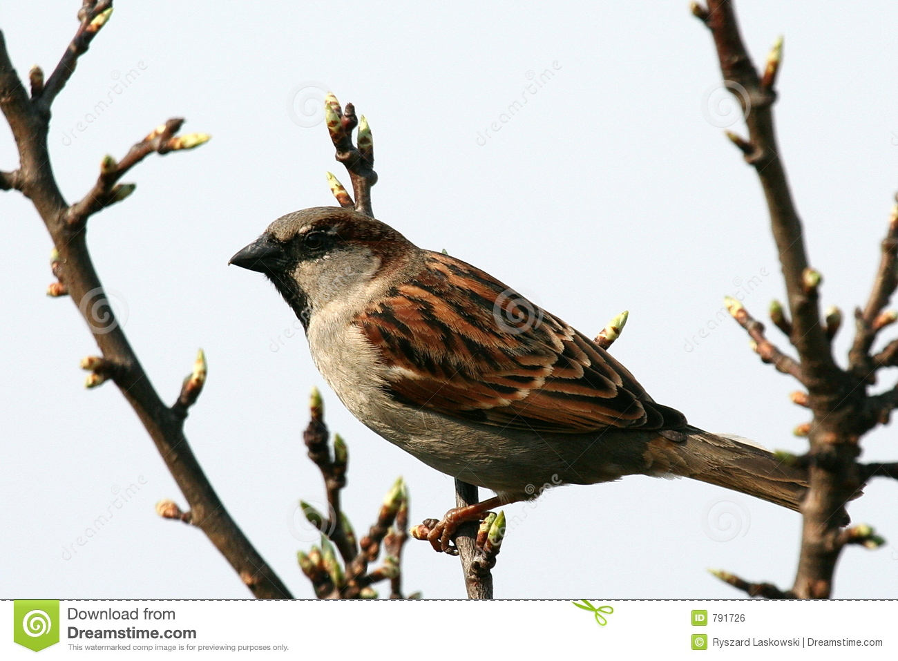 Raising Of Sparrow Pictures : House Sparrow Royalty Free Stock Image - Image: 791726
