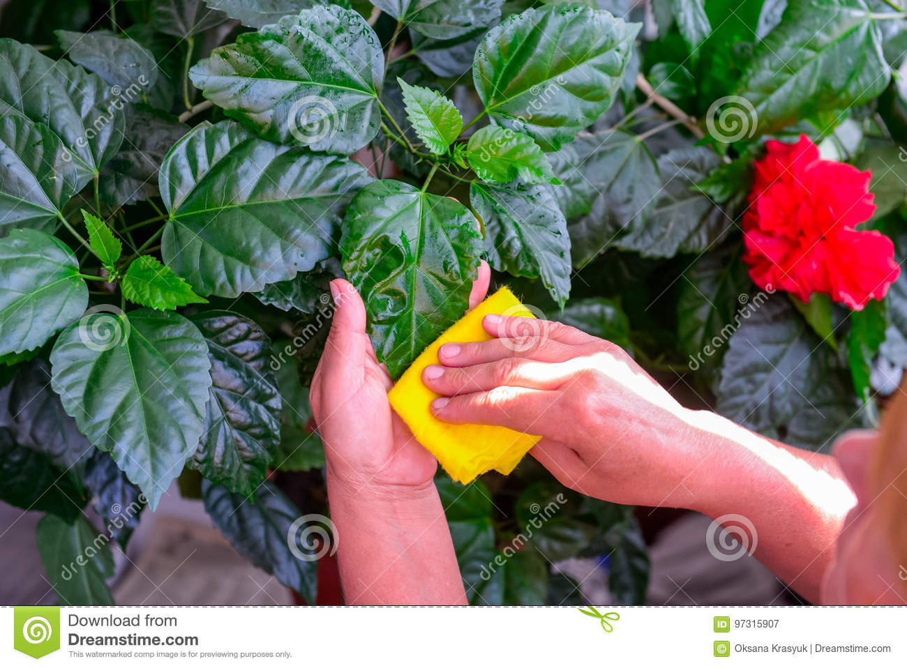Household Concept Of Takes Care Of Indoor Plants Adult Female Hands