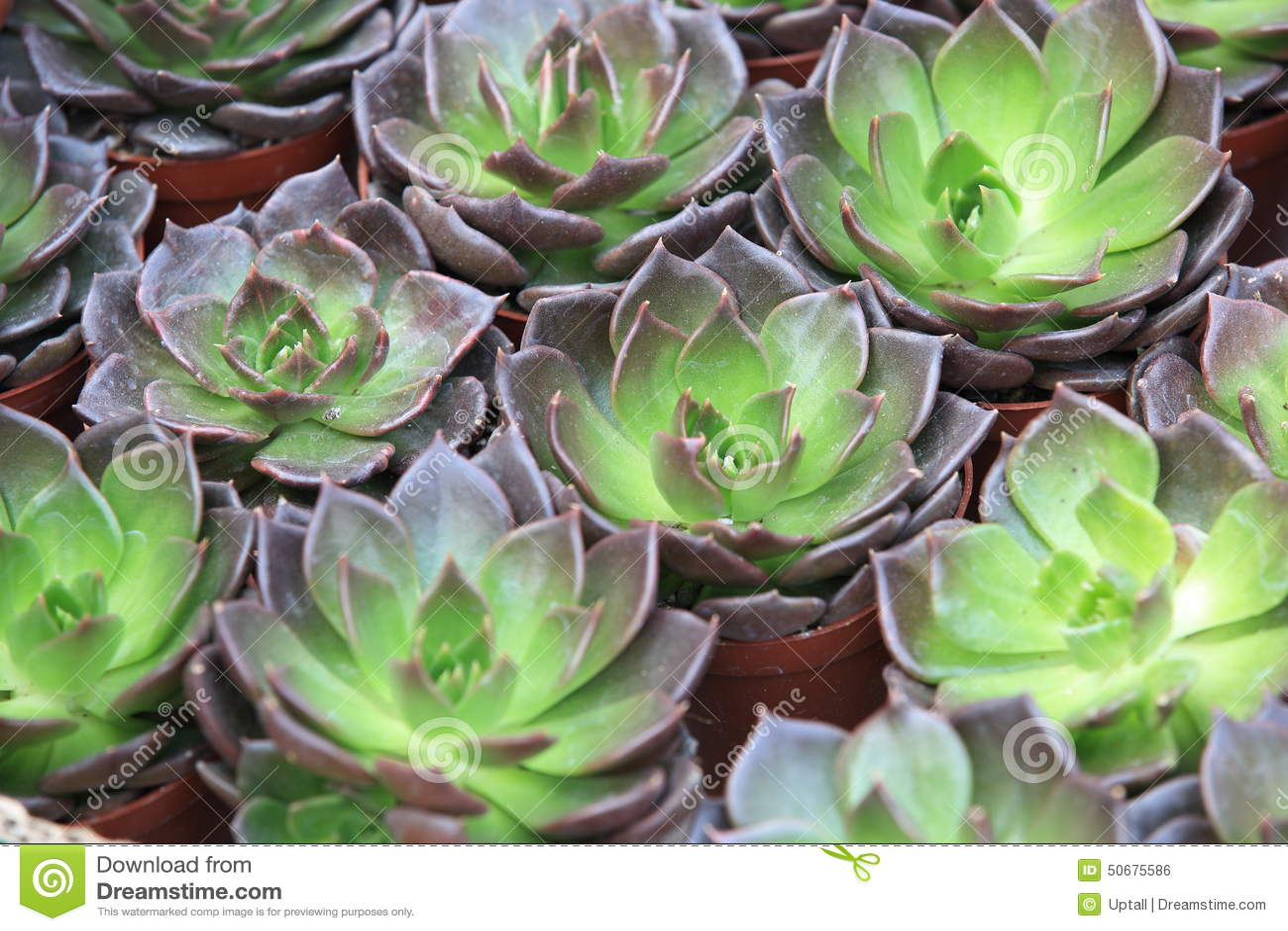Download Houseleek装壶 库存照片. 图片 包括有 宏指令, 开花的, 工厂, 叶子, 照亮, 问题的, 开花 - 50675586