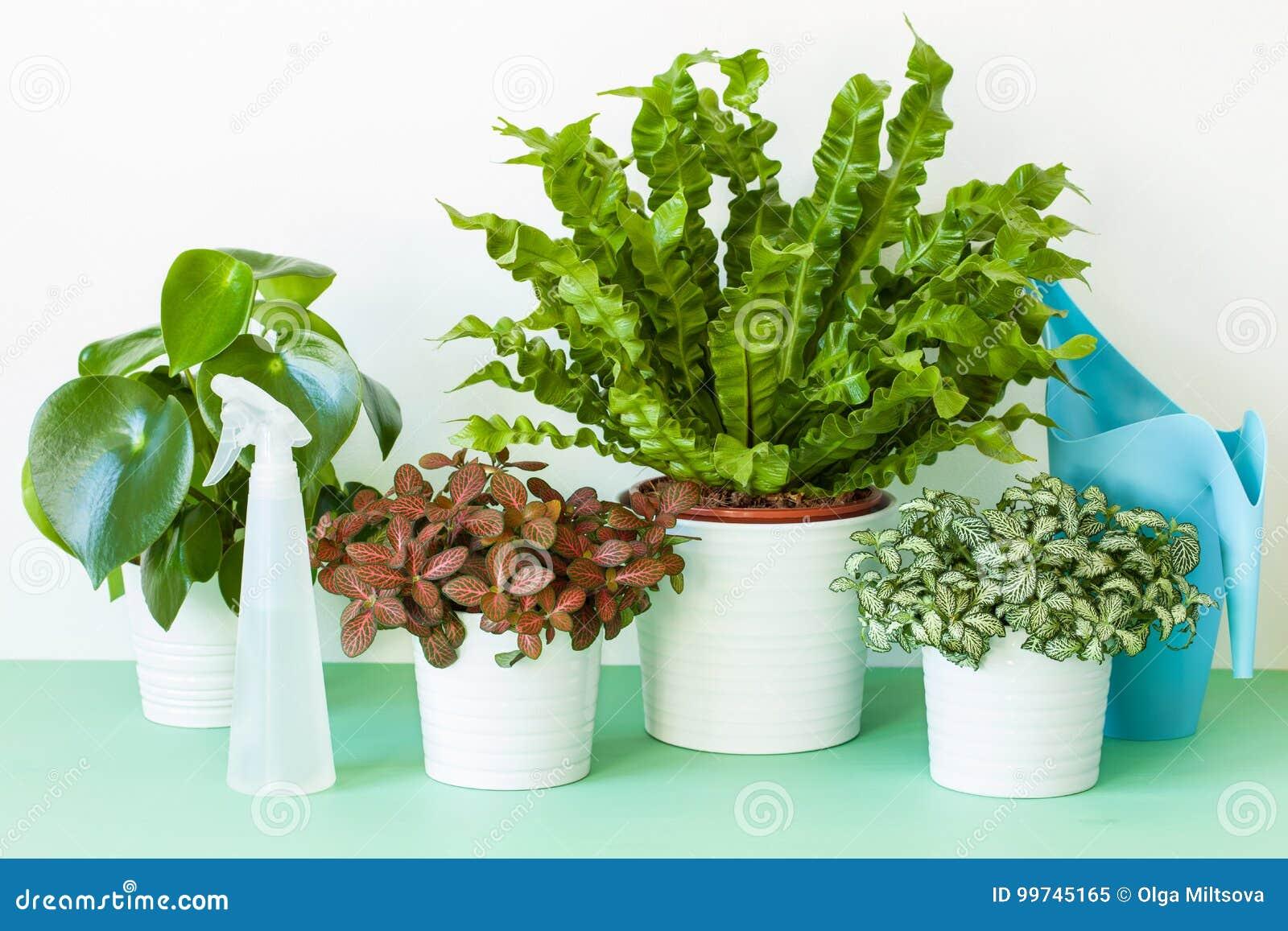 Houseplant Asplenium Nidus, Peperomia And onia In ... on licorice fern, alocasia house plant, ostrich fern, cyathea cooperi, asplenium australasicum, sensitive fern, philodendron house plant, spanish moss house plant, peperomia house plant, philodendron gigas, philodendron hederaceum, asplenium antiquum, asplenium trichomanes, asplenium serratum, hart's-tongue fern, justicia brandegeeana, giant salvinia, ficus elastica, spathiphyllum house plant, sansevieria trifasciata, cinnamon fern, boston fern, fittonia house plant, philodendron domesticum, monstera house plant,
