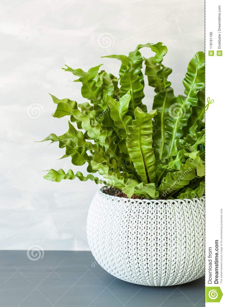 Houseplant Asplenium Nidus In White Flowerpot Stock Photo ...
