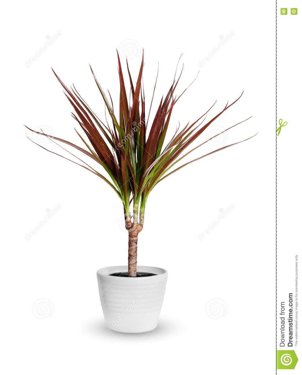 Houseplant - Dracaena Marginata A Potted Plant Isolated Over White on cornstalk plant, mass cane plant, artificial palm trees plant, tall marginata plant, marginata plant poisonous, marginata cane plant, shrimp plant, cigarette plant, pruning marginata plant, alocasia plant, fica plant, dracaena plant, identify palm plant, eucalyptus plant, gawe aspidistra plant, florida beauty plant, d. marginata plant, cactus tree plant, century tree plant,