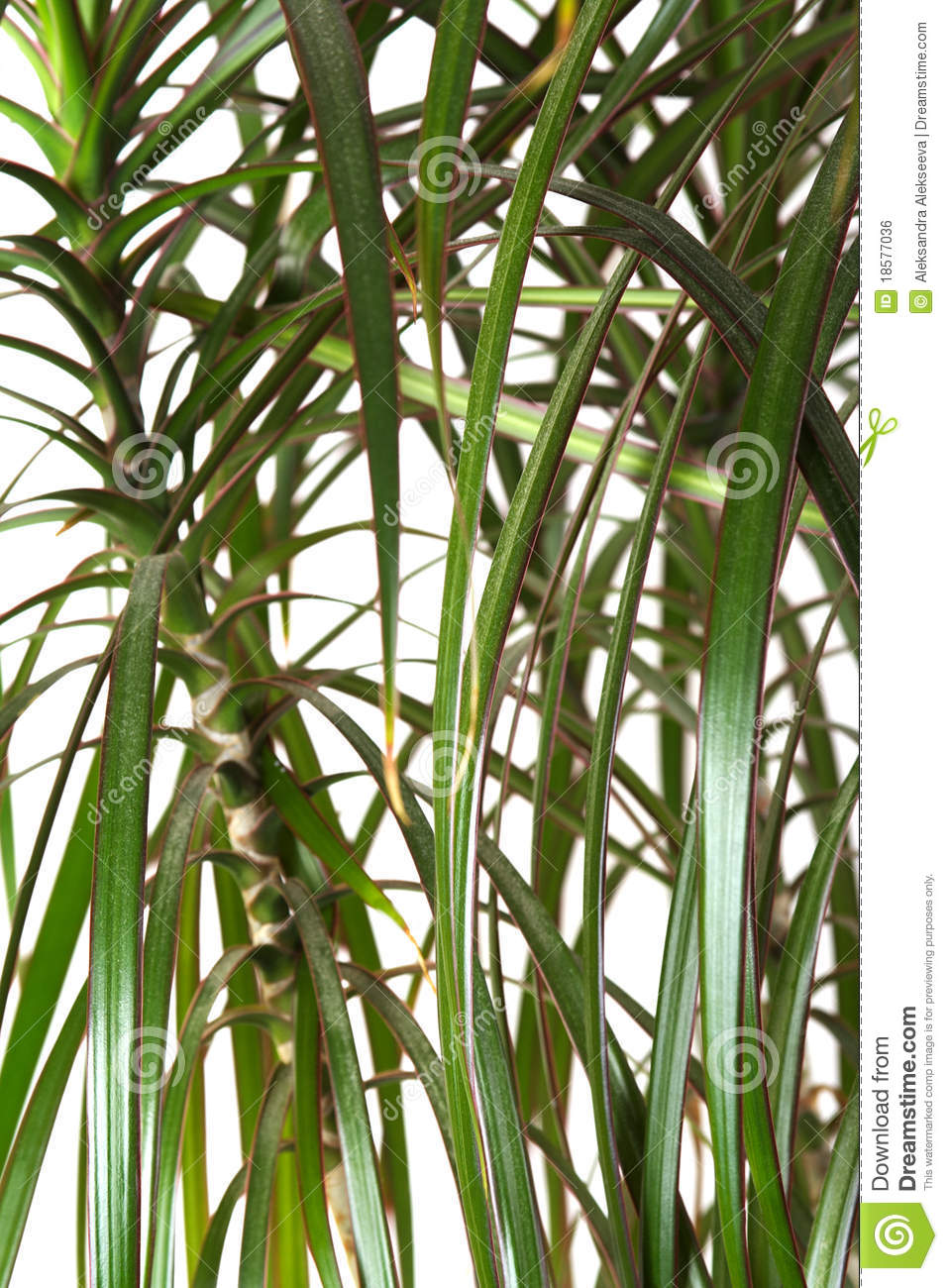 houseplant dracaena palm closeup stock photo image 18577036. Black Bedroom Furniture Sets. Home Design Ideas