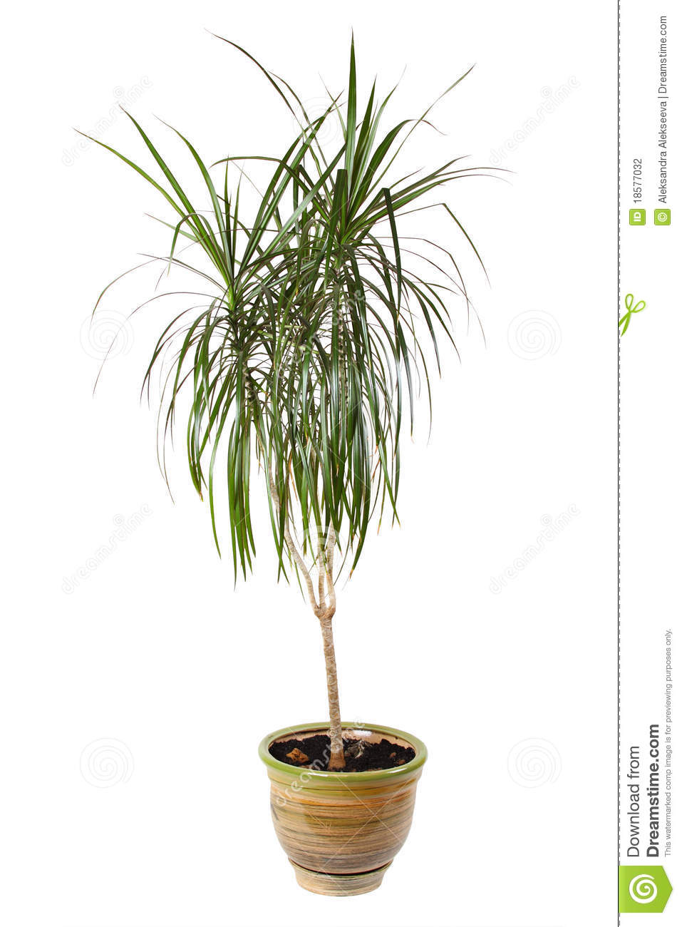 houseplant dracaena palm in flowerpot stock photography image 18577032. Black Bedroom Furniture Sets. Home Design Ideas