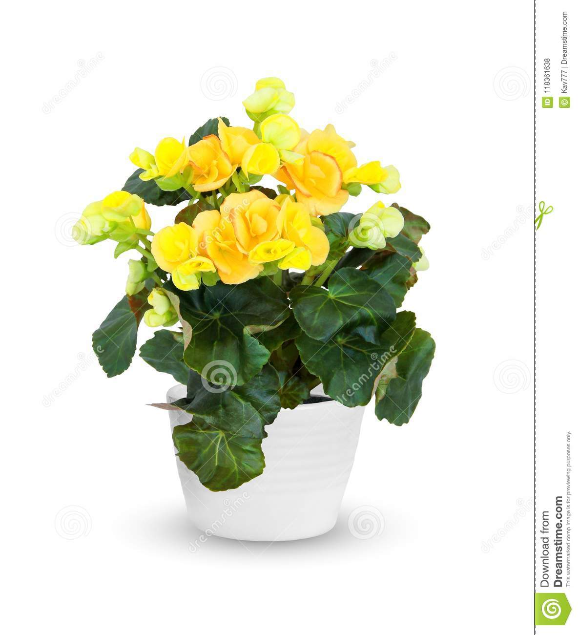 Houseplant - flowering Begonia a potted plant over whit