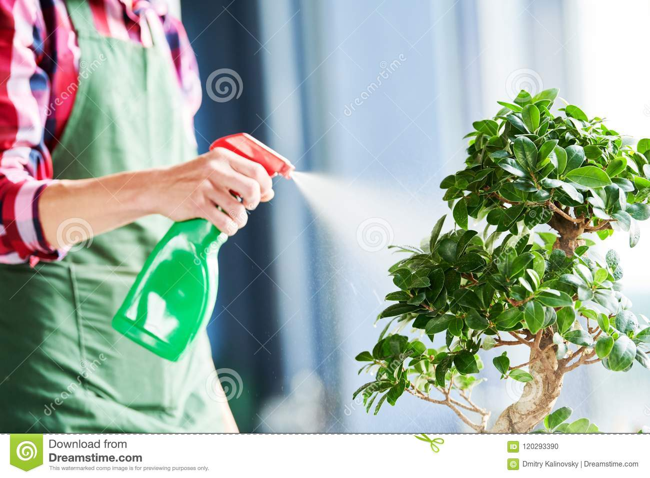 Bonsai care and tending houseplant growth. Watering small tree.