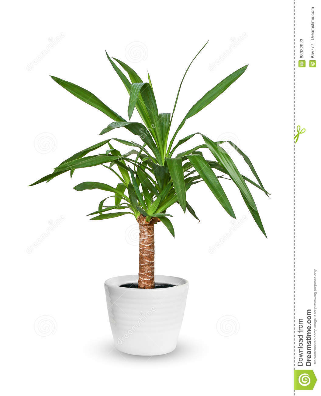 Houseplant - Yucca elephantipes a potted plant isolated over white.