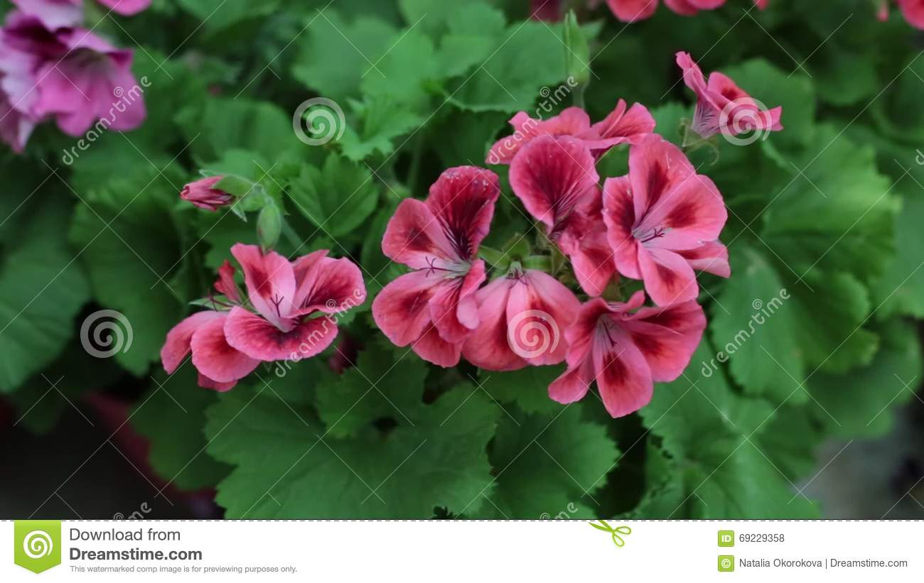 houseplants with pink and red flowers stock footage  video, Natural flower