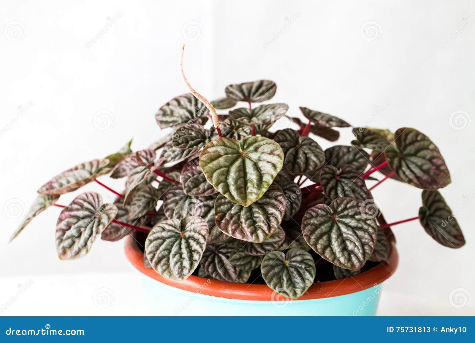 Houseplants Senecio Cylindricus Stock Image - Image of ... on narrow leaf hostas, narrow leaf evergreens, narrow leaf trees, narrow leaf grass, narrow leaf shrubs,