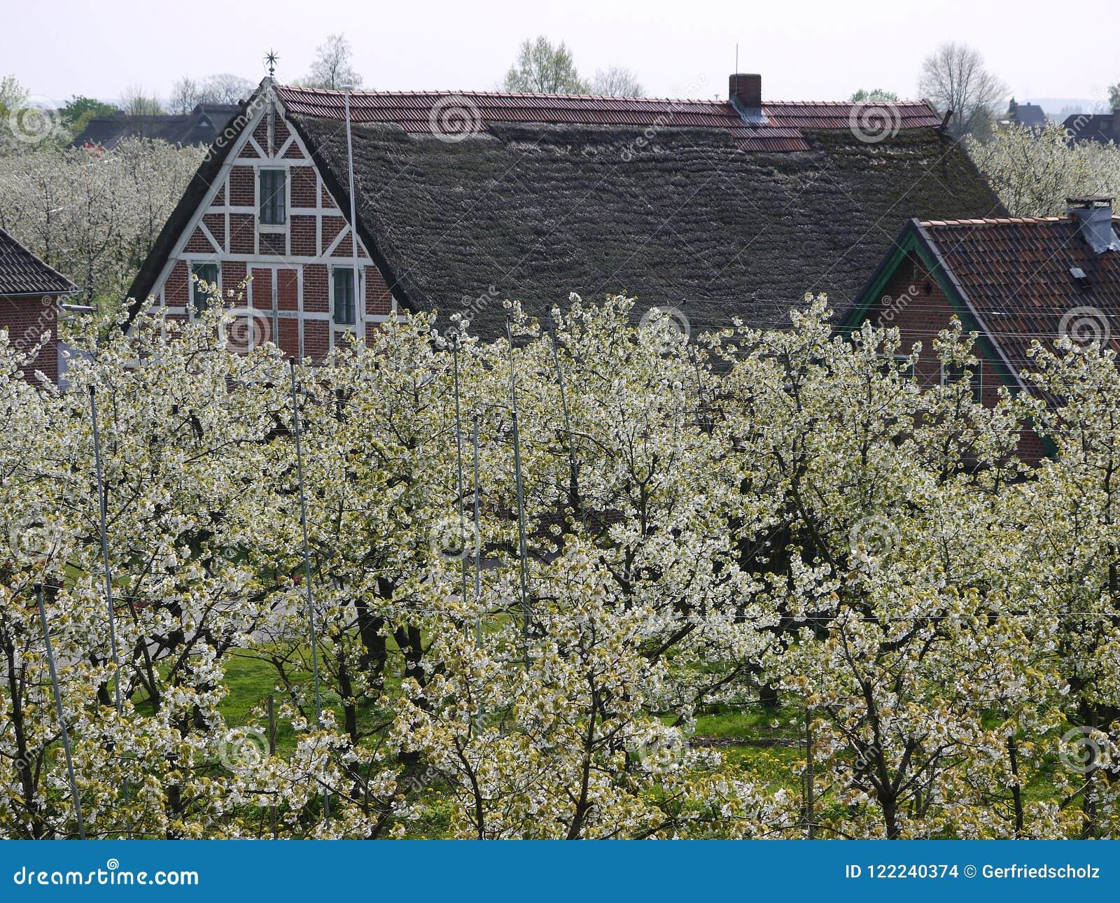 Houseroofs i en körsbärsröd koloni för blomningträd som bands för att belägga med metall poler, förband med tråd, suddig bakgrund