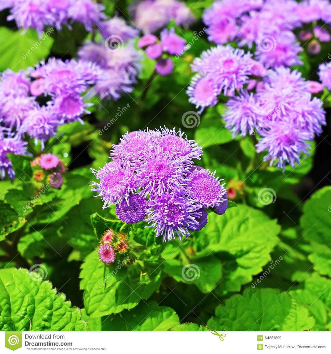 Houston Ageratum Or Mexican Ageratum Ageratum