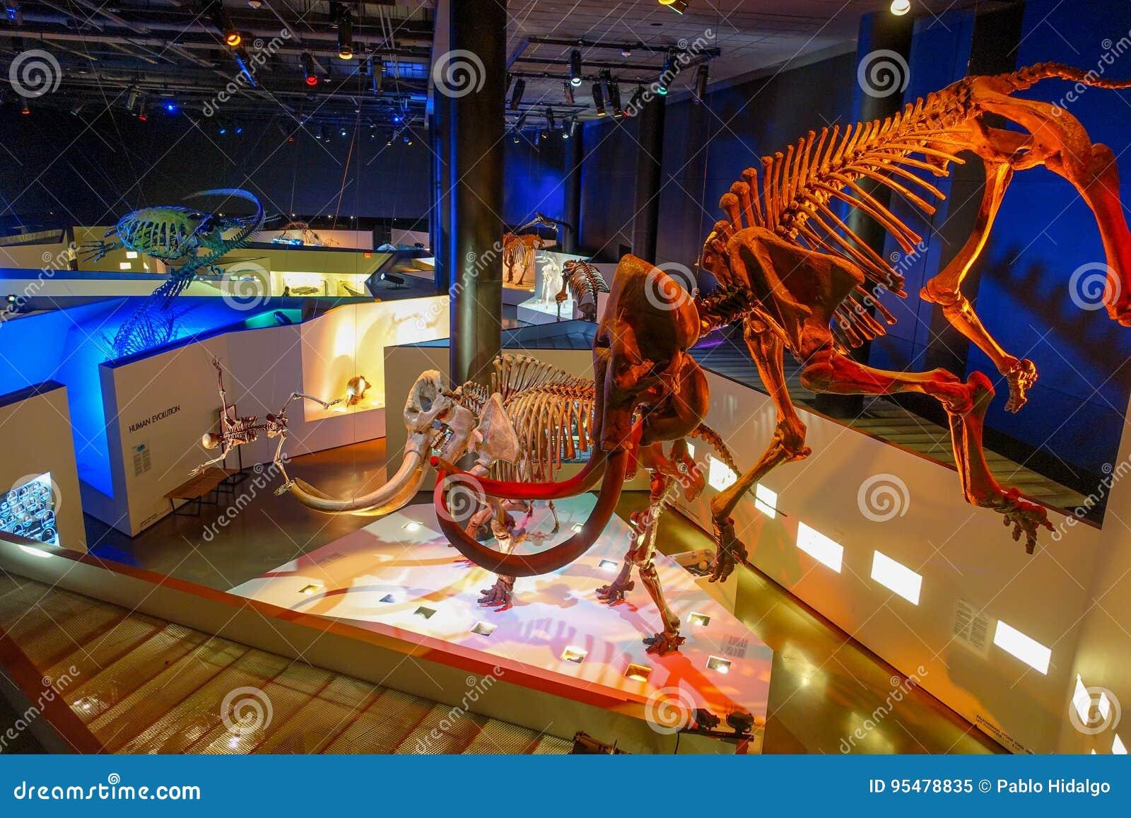 HOUSTON, usa - STYCZEŃ 12, 2017: Skamielina ogromna mamutowa ekspozycja w muzeum narodowym Naturalna nauka wewnątrz
