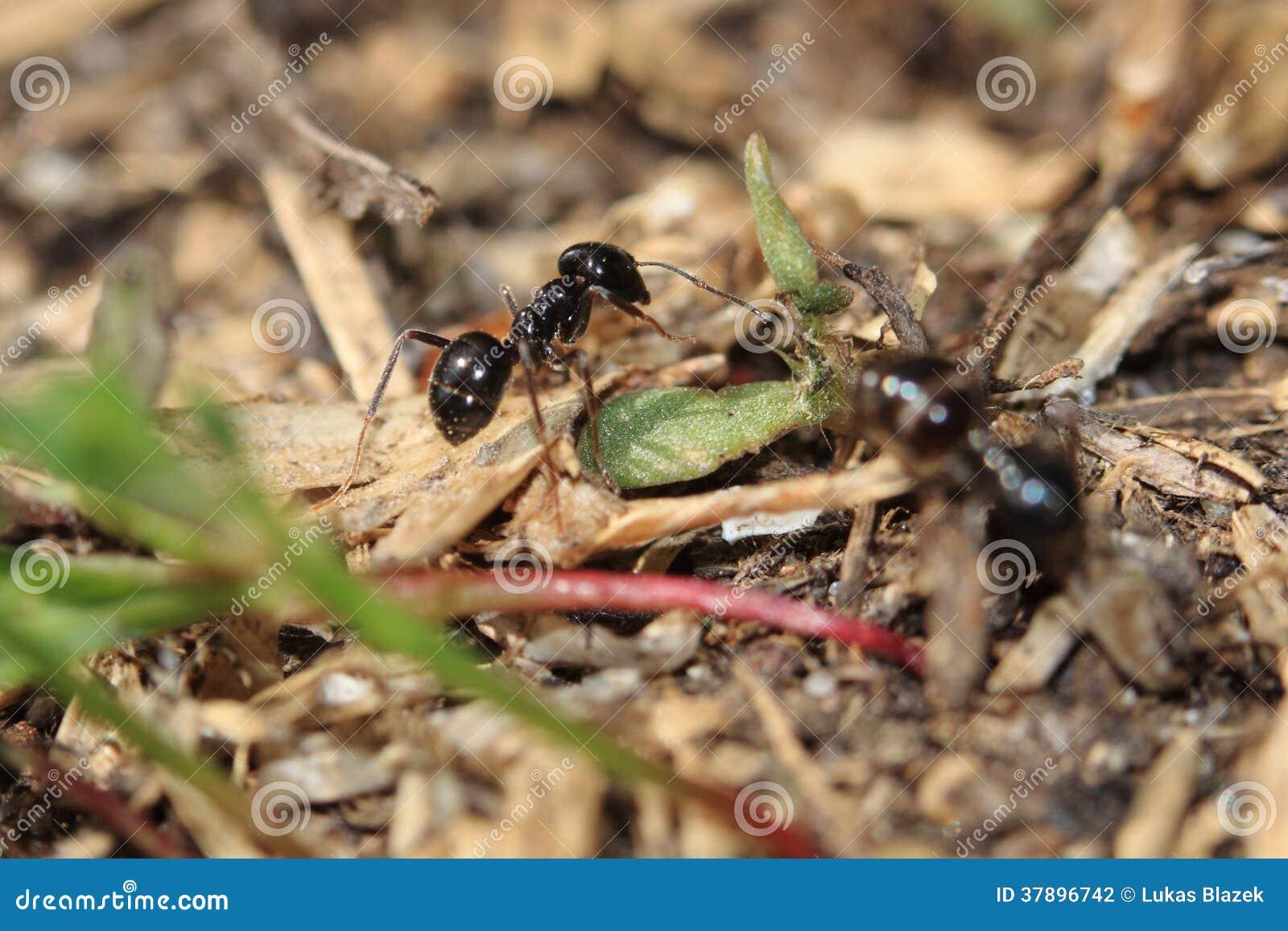 Houten mier