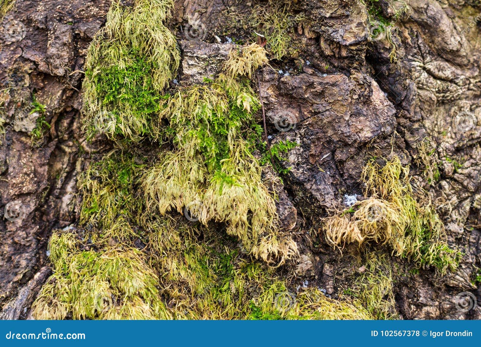 Houten textuur met mos