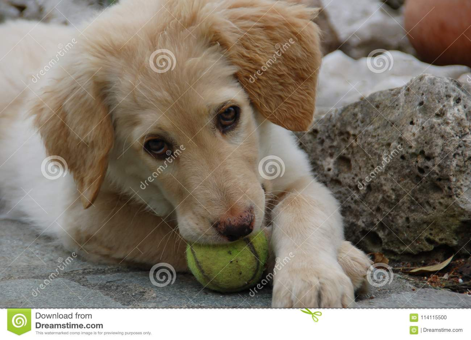 Hovawart - cão de cachorrinho