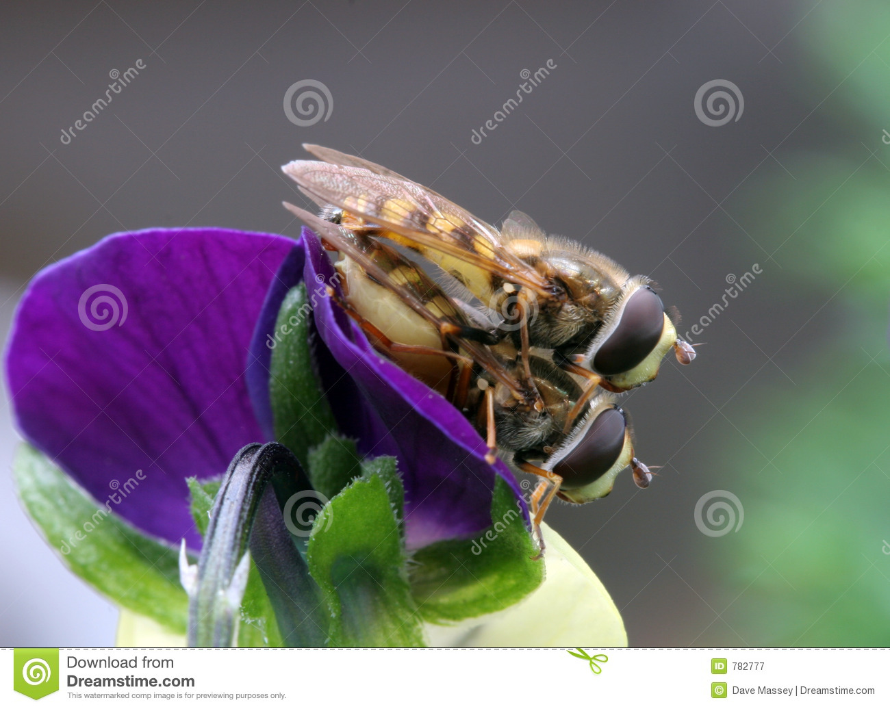 Hover Flies Mating