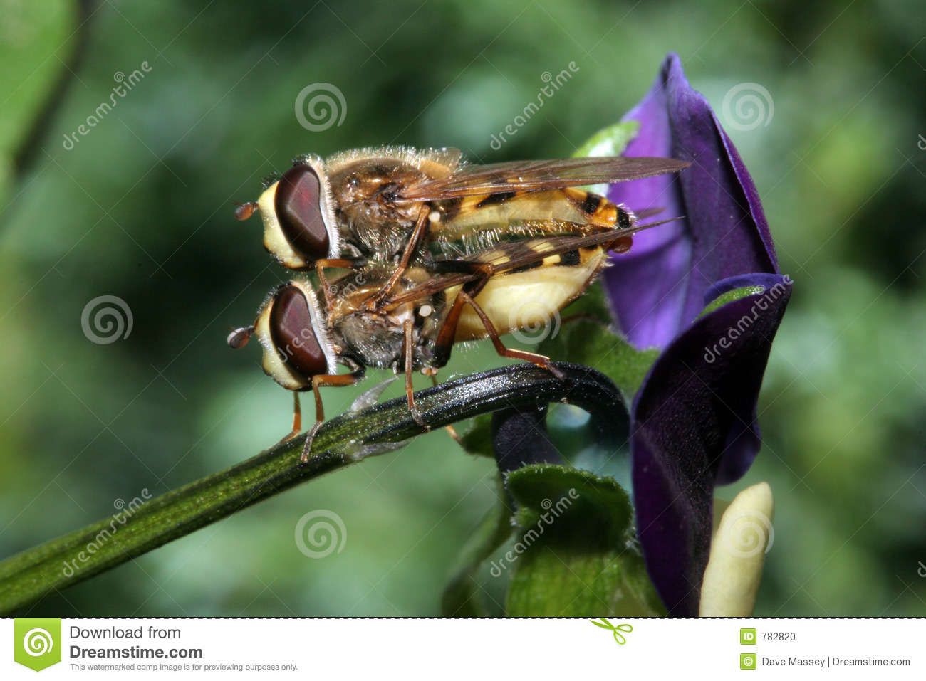 Hover Flies Mating on a Viola