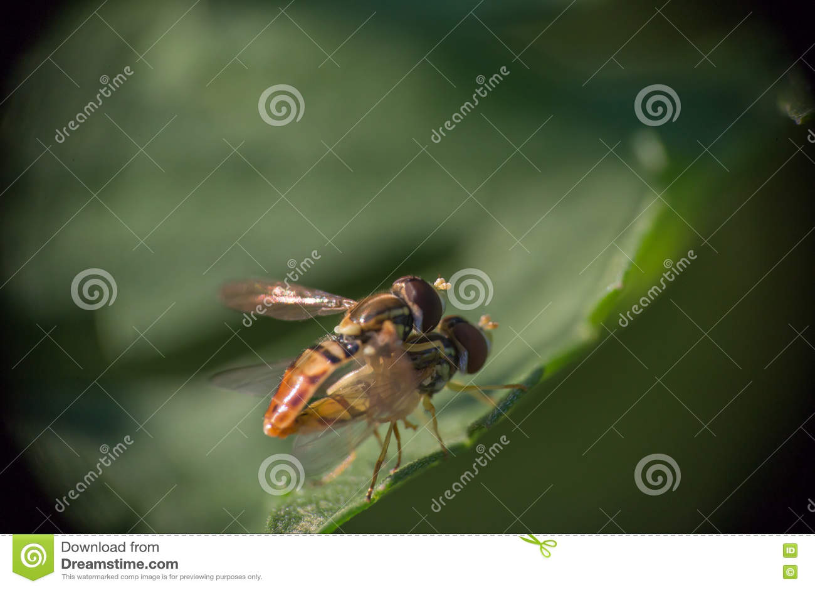 Hoverflies de acoplamento 1