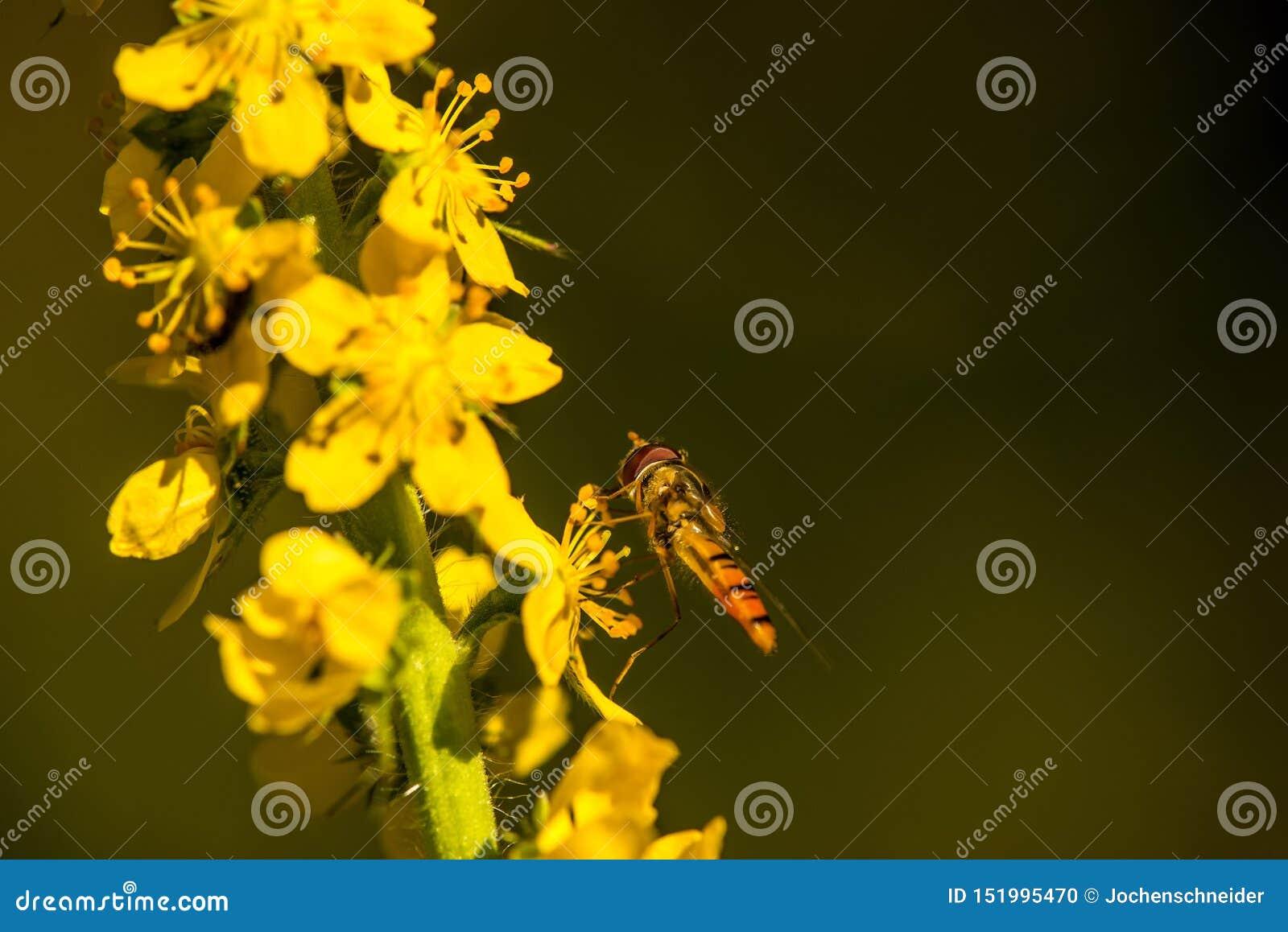 Hoverfly橘子果酱在共同的龙牙草花