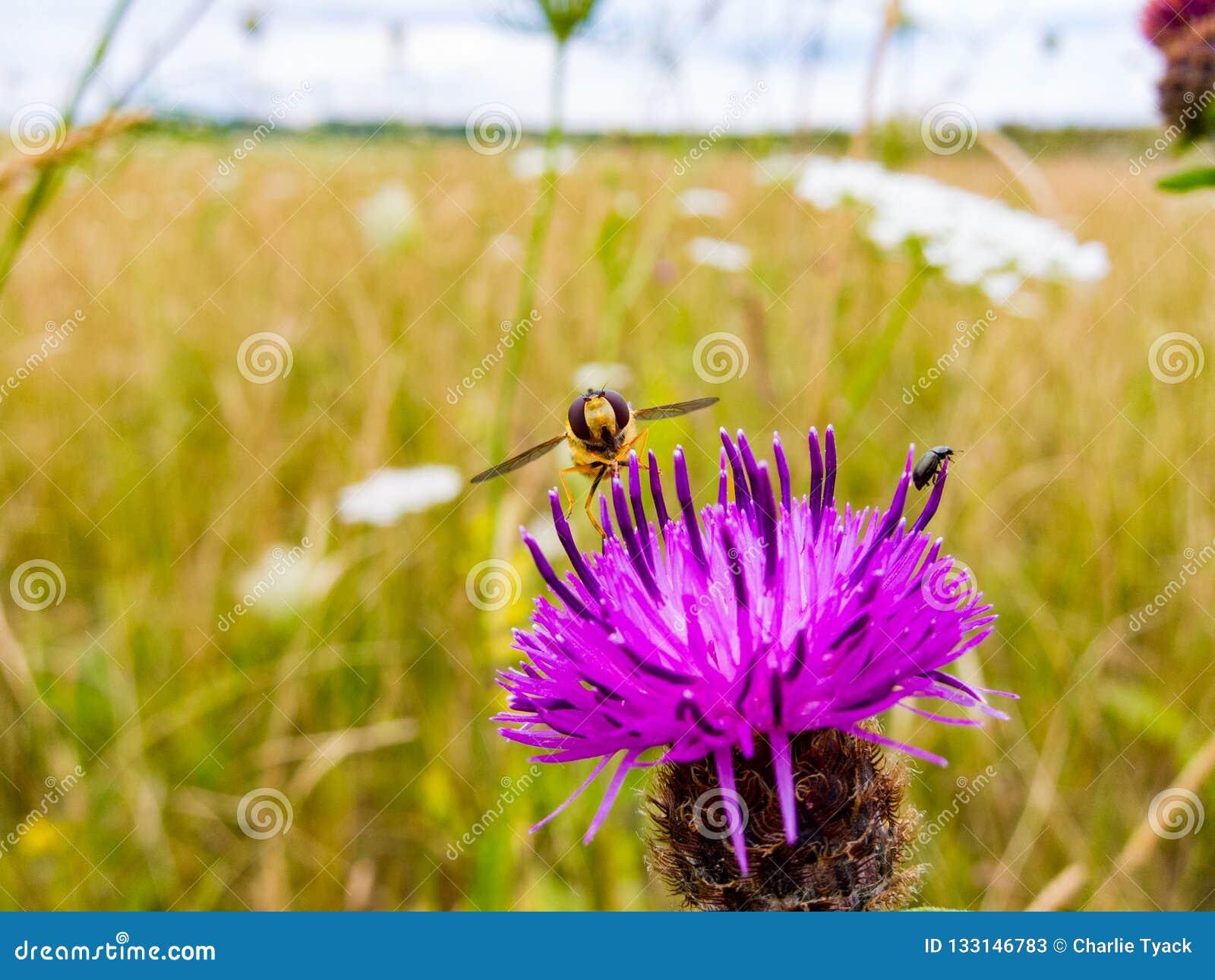 Hoverfly отдыхая на пинке/пурпурной голове цветка thistle