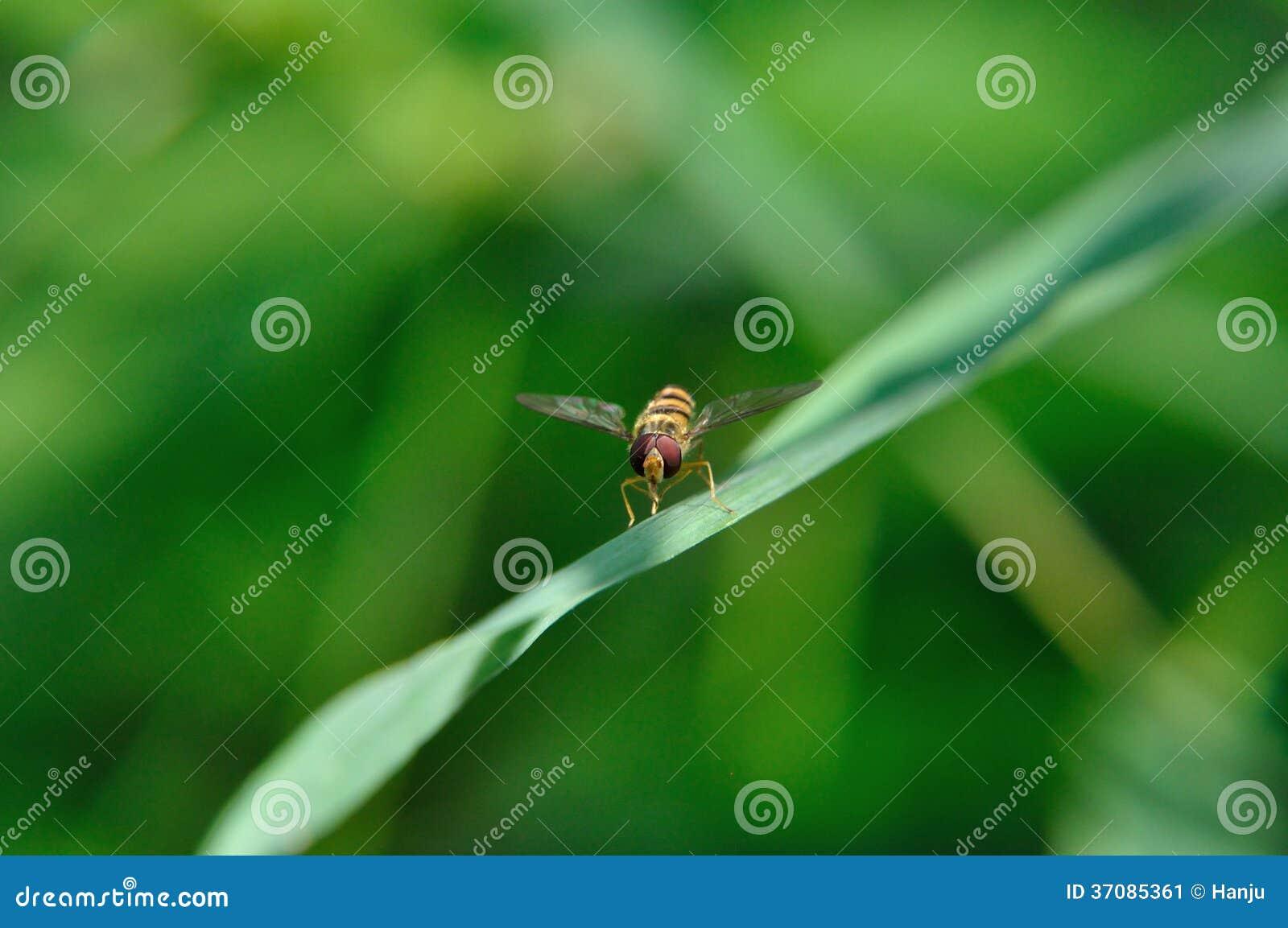 Download Hoverfly obraz stock. Obraz złożonej z skrzydła, insekt - 37085361