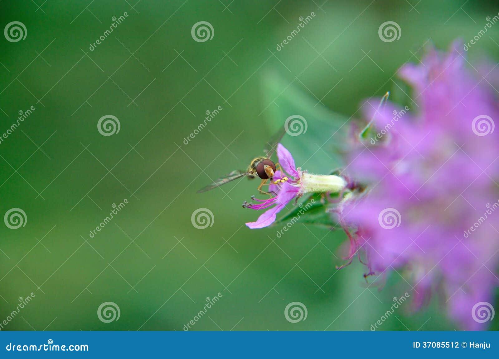 Download Hoverfly zdjęcie stock. Obraz złożonej z czerwień, menchie - 37085512