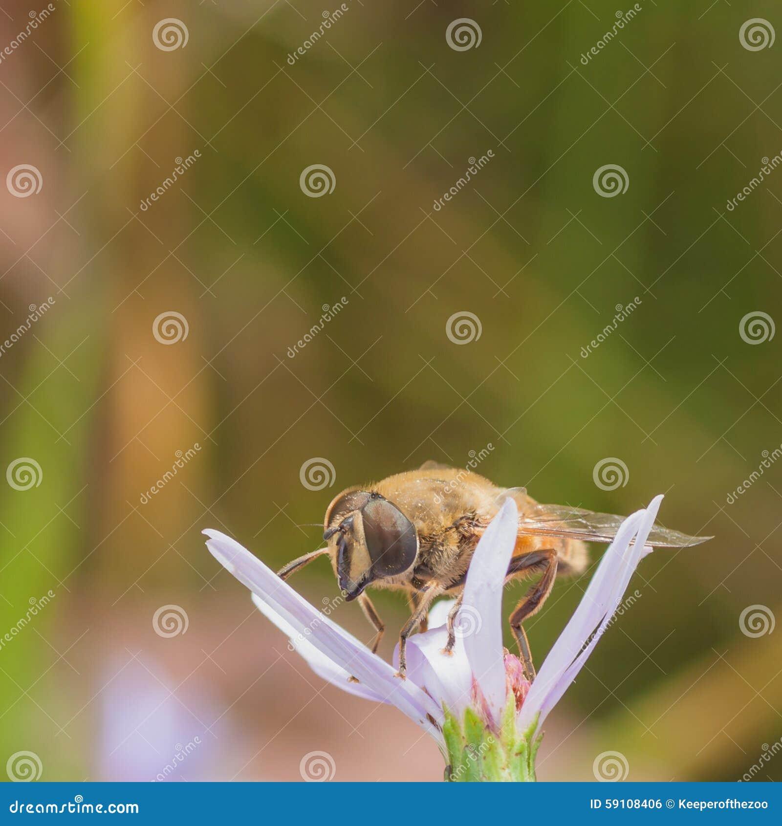 Hoverfly花
