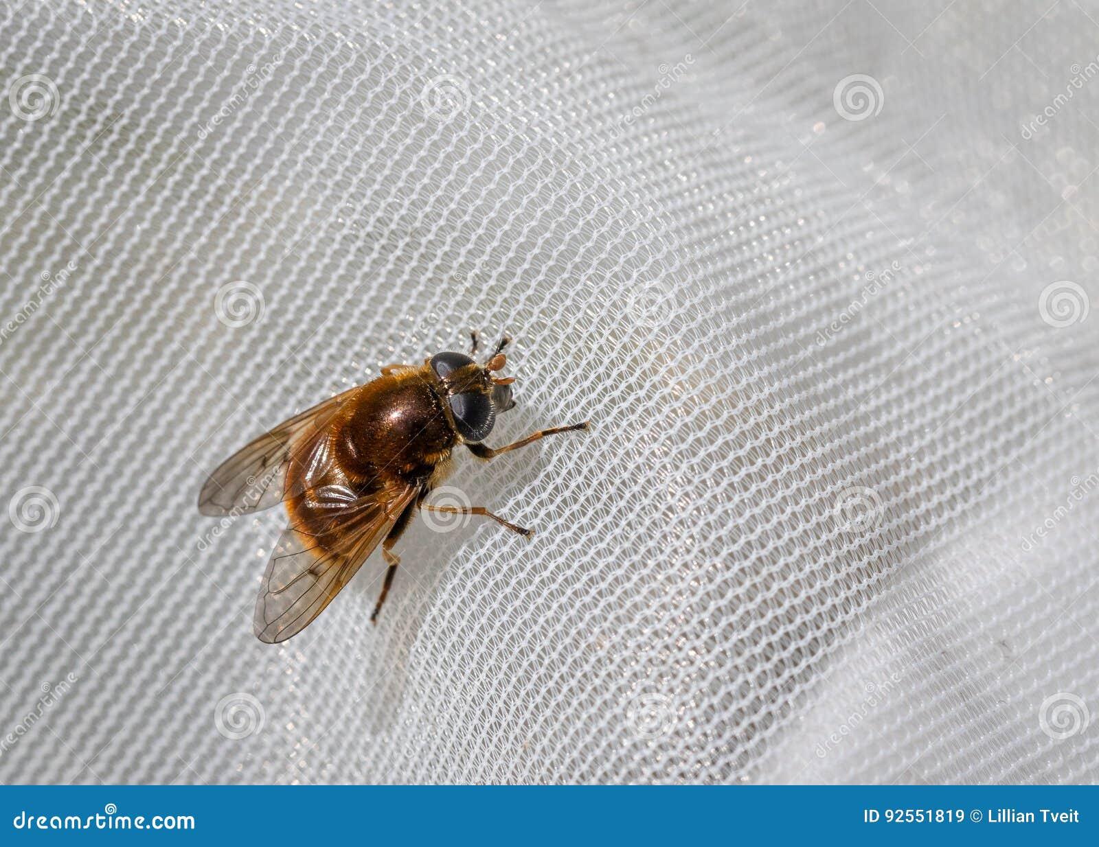 Hoverfly, chrysocoma di Cheilosia, femmina ha preso in una rete per scienza