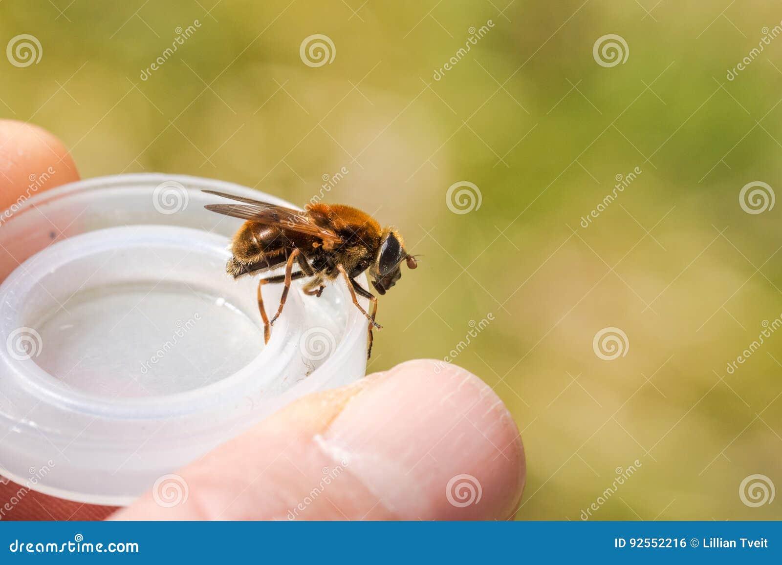 Hoverfly, chrysocoma di Cheilosia, femmina, sedentesi su una copertura di plastica