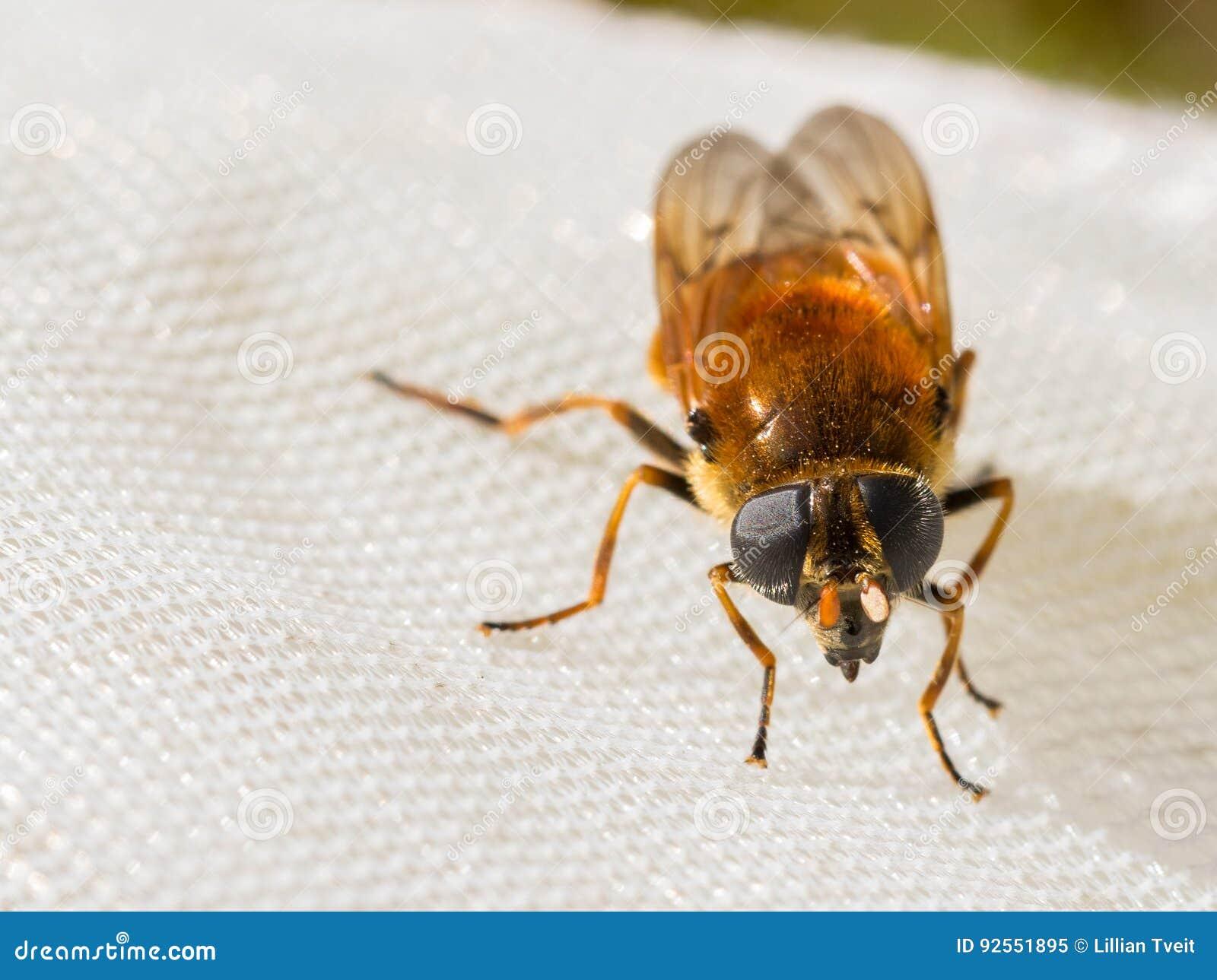 Hoverfly, chrysocoma di Cheilosia, femmina, vista frontale, sedentesi su una rete dell insetto