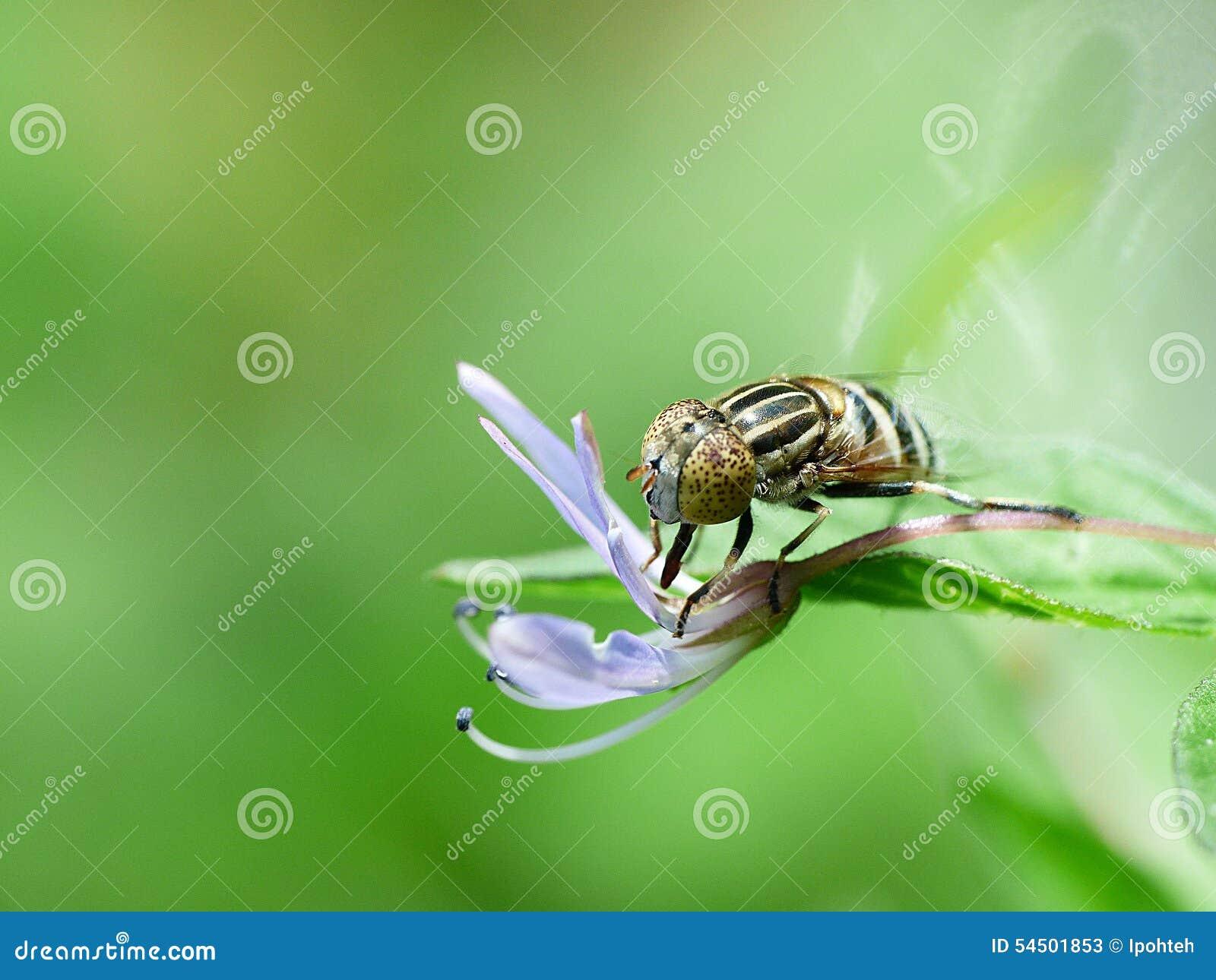 Hoverfly et petite fleur pourpre
