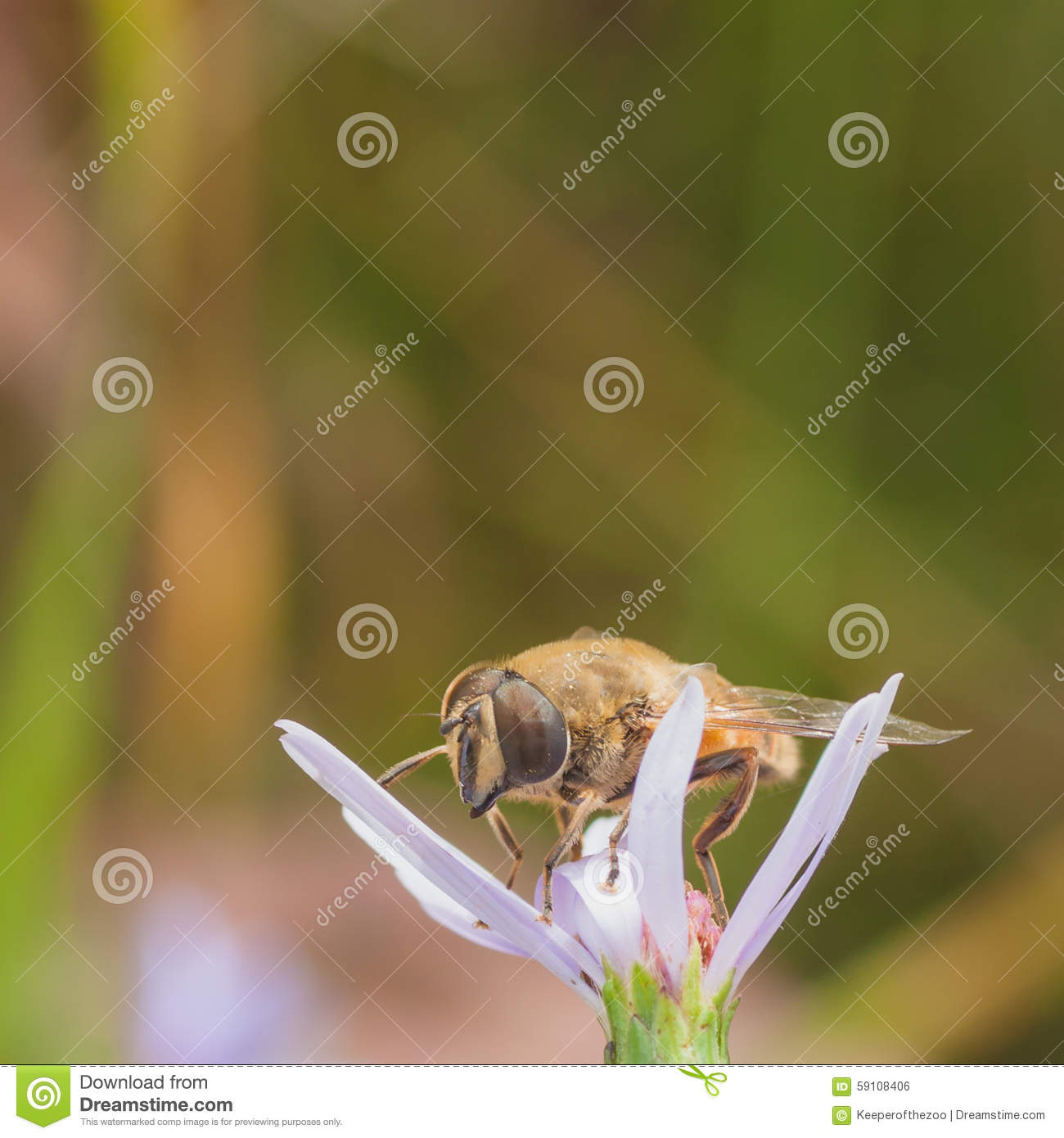 Hoverfly on a Flower