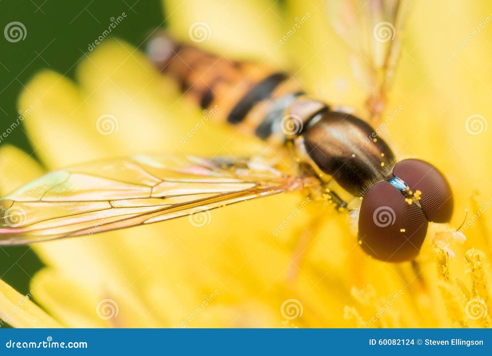 hoverfly mit roten augen auf heller gelber blume stockfoto bild von kopf blau 60082124. Black Bedroom Furniture Sets. Home Design Ideas