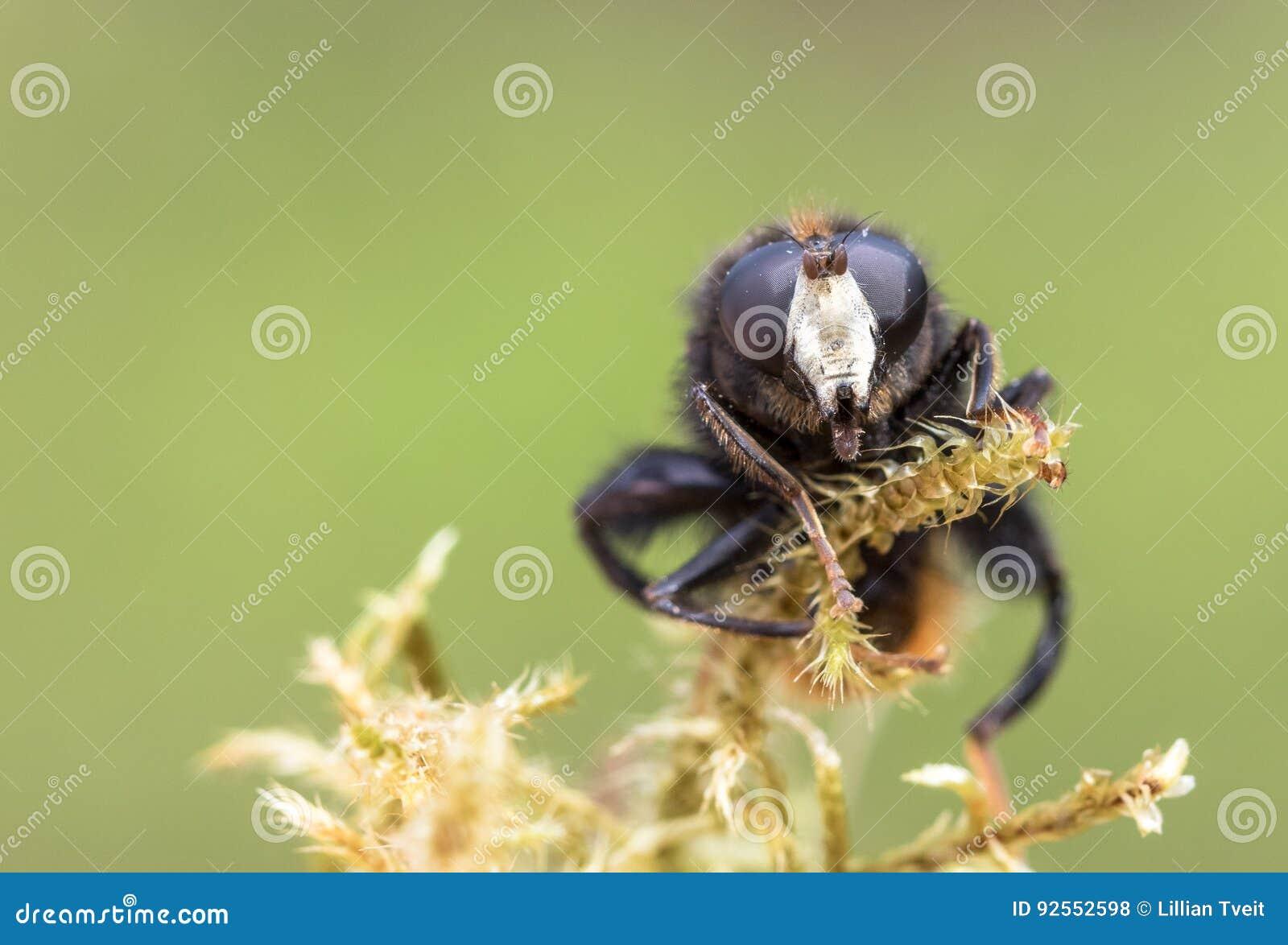 Hoverfly, ranuculi di Criorhina, maschio, vista frontale che mostra fronte bianco