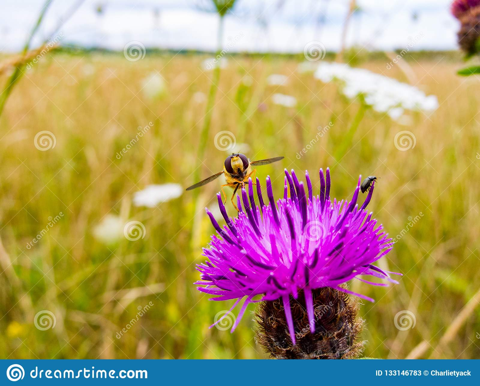 Hoverfly resting on a pink / purple thistle flower head