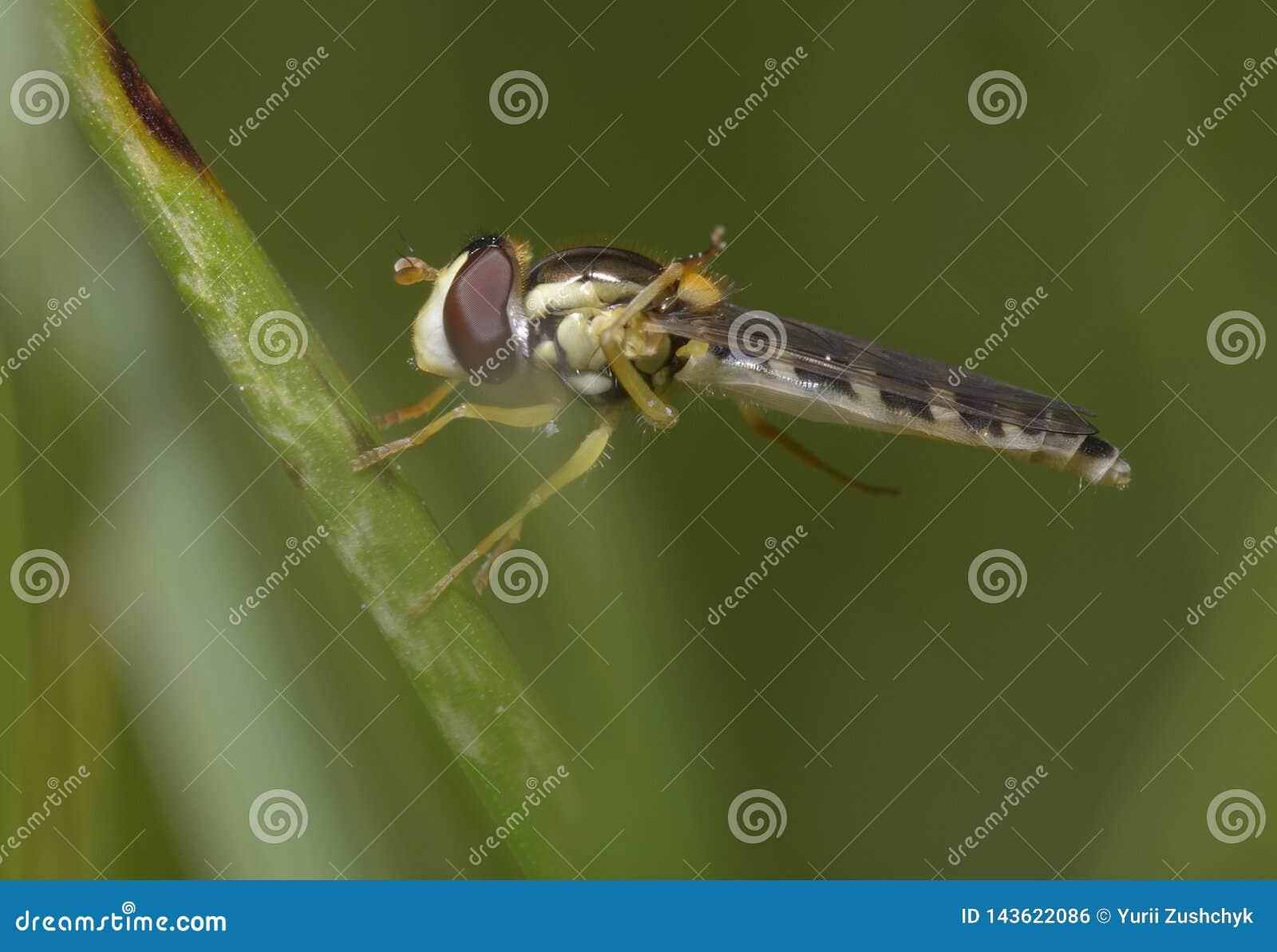 Hoverfly, Syrphidae, sentándose en tronco de la planta