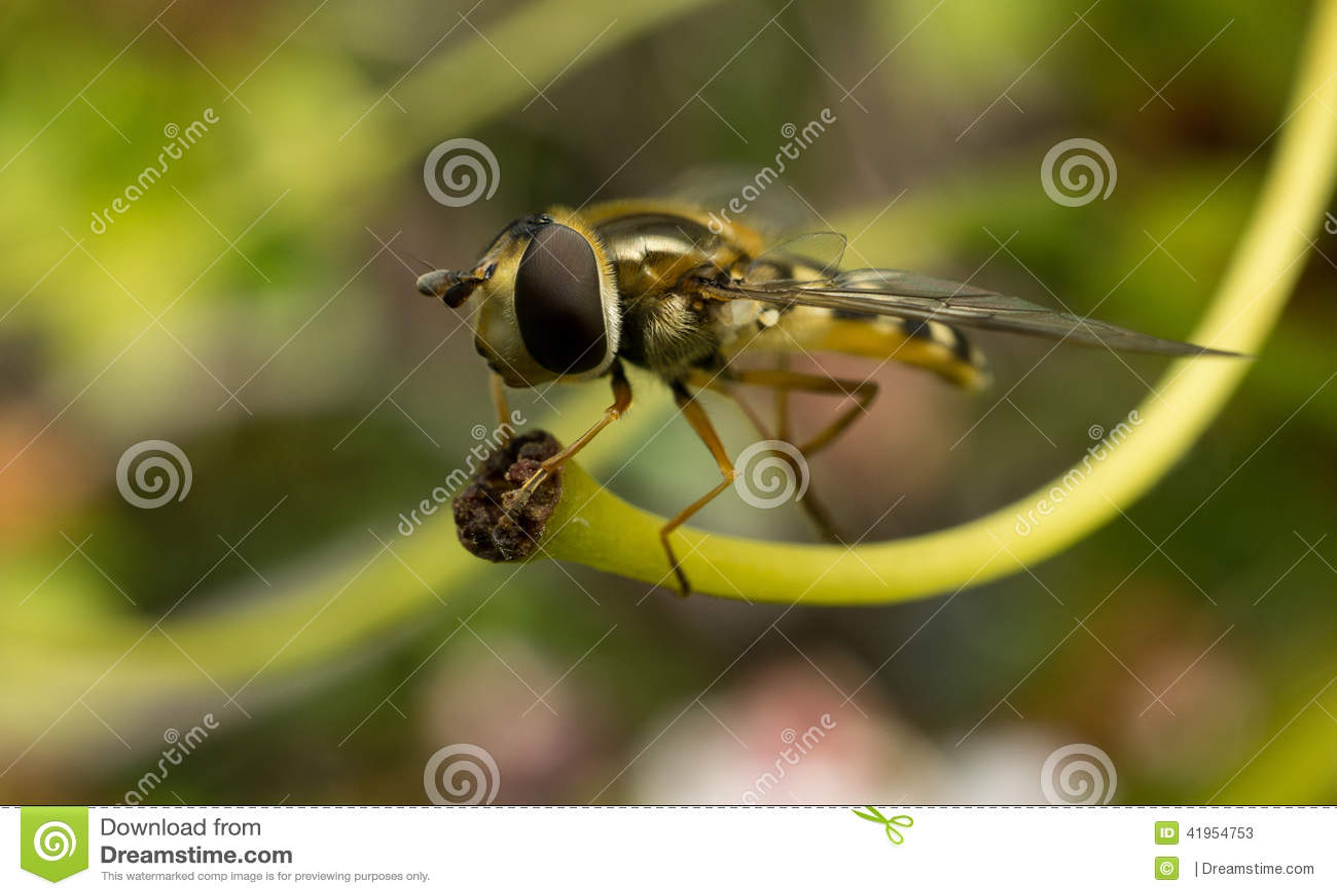 Hoverfly umieszczał na roślinie