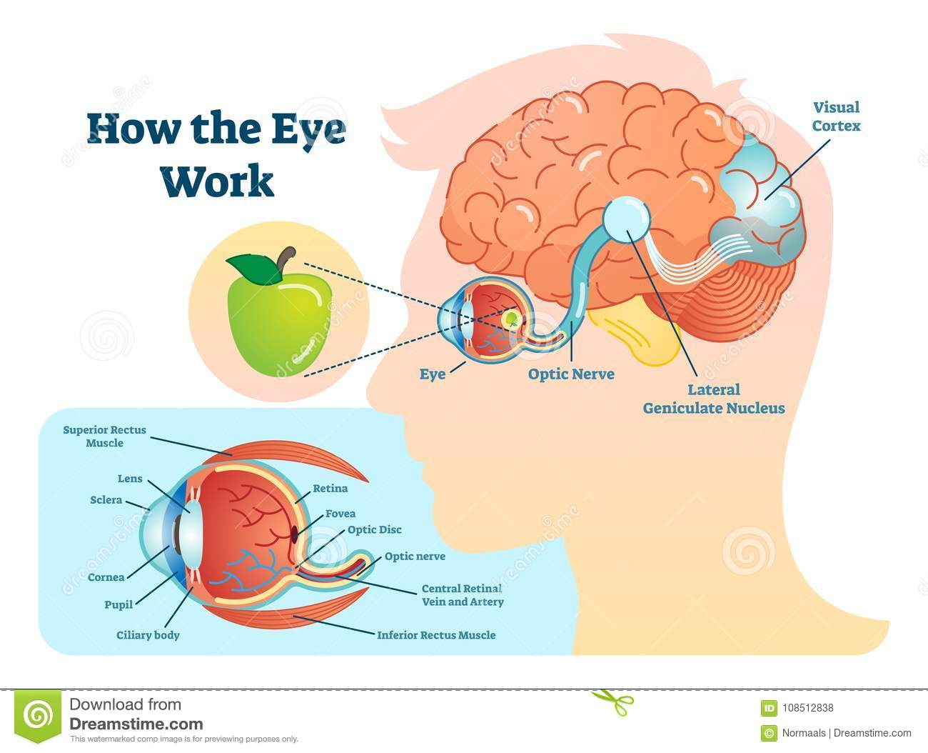 How Eye Work Medical Illustration Eye Brain Diagram Stock Vector