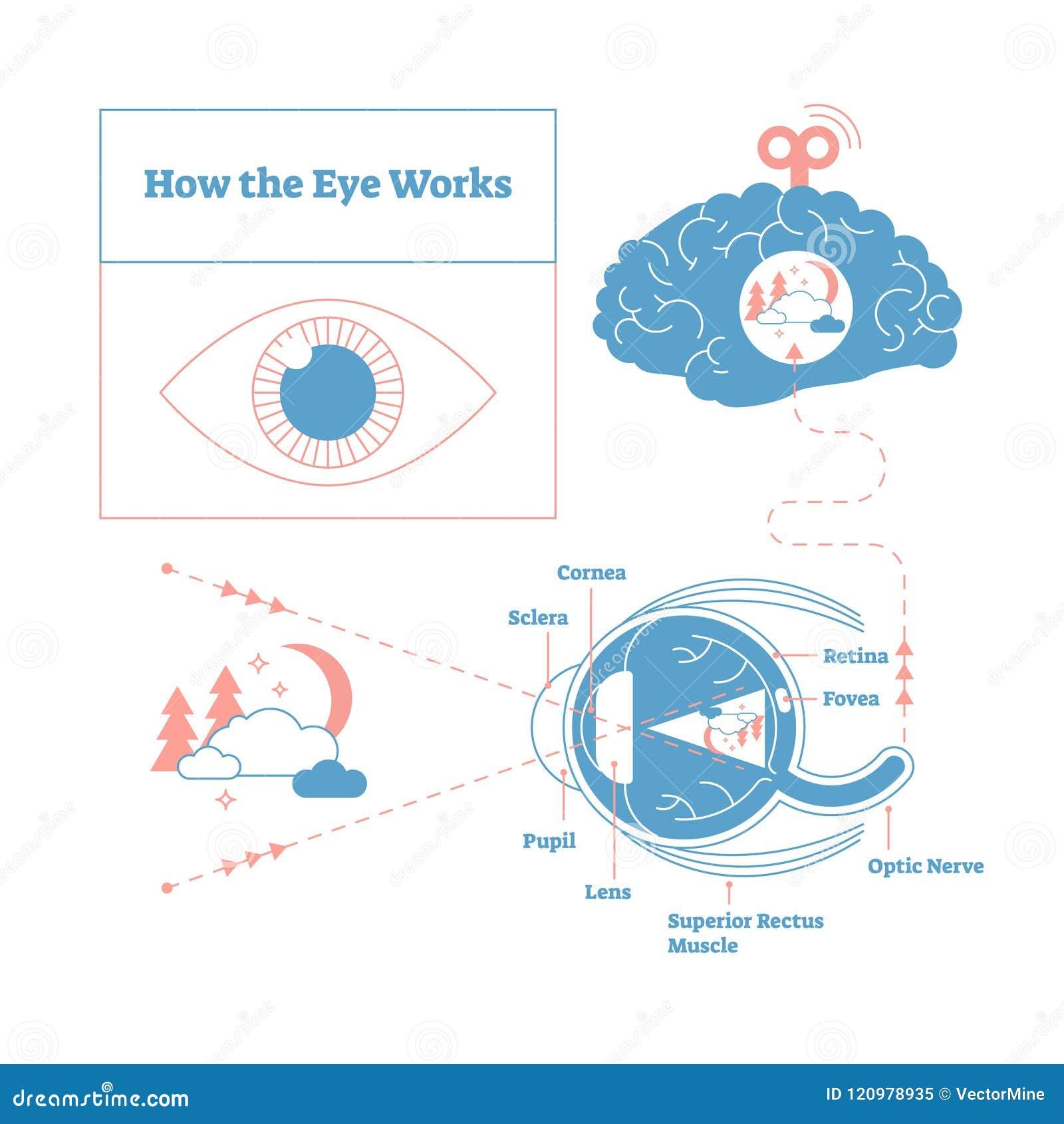 How The Eye Works Medical Scheme Poster Elegant And Minimal Vector