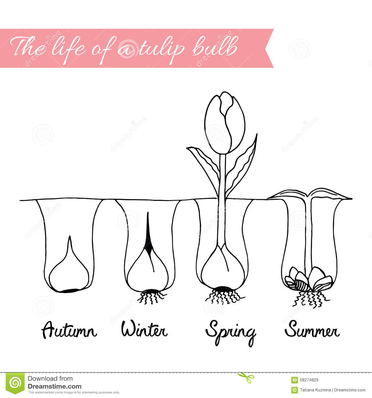 How To Growing Tulips Stock Vector Image 58274829
