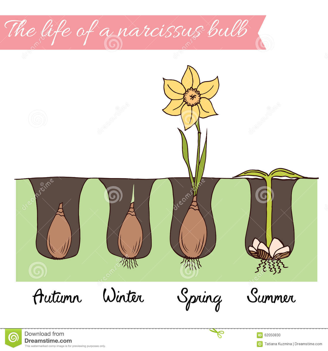 When how to plant daffodil bulbs - Royalty Free Illustration Download How To Plant The Daffodils