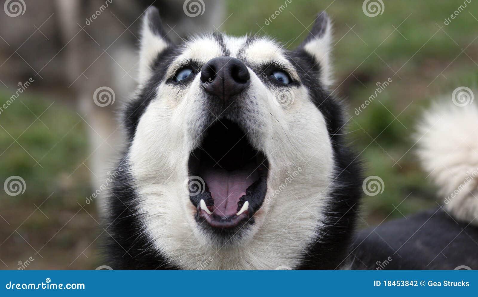 Howling Siberian Husky Stock Photo Image Of Husky Competition
