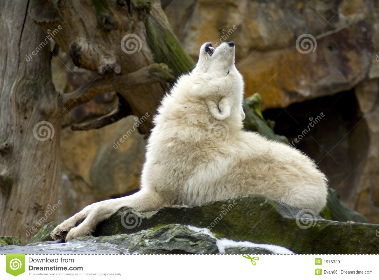 Howling Wolf Stock Photo - Image: 1976330