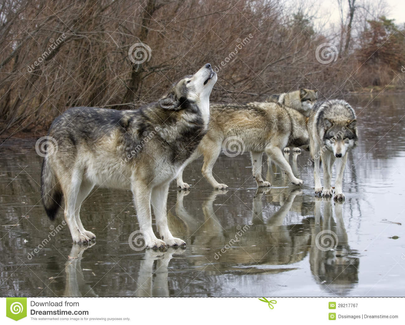 Gray wolf pack howling - photo#20